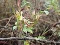 Caladenia attingens gracillima.jpg