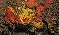 Calcareous Sponges (Leucettidae) (8459162378).jpg