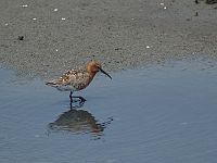 Calidris ferruginea P4233426.jpg
