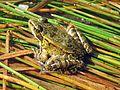 California Red-legged Frog (Rana draytonii) - Flickr - GregTheBusker.jpg