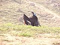 California condors -216 and -328 at Bitter Creek National Wildlife Refuge. (36869506953).jpg