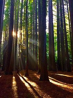 Redwoods of the Otway Ranges