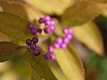 Callicarpa dichotoma, fruit 03.jpg