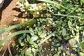 Callitriche lechleri Ludwigia peploides (29552038773).jpg