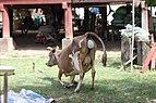 Calving in Laos (1 of 9).jpg