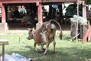 Calving in Laos (1 of 9).jpg