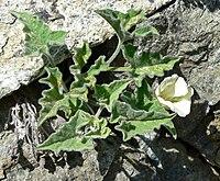 Calystegia collina ssp oxyphylla 1.jpg