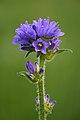 Campanula cervicaria - Keila.jpg