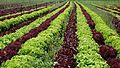 Campos agricolas de palafolls (4).JPG