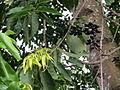 Cananga odorata (11034302186).jpg