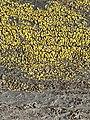 Candelariella vitellina 62788112.jpg