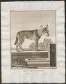 Canis lupus familiaris - 1700-1880 - Print - Iconographia Zoologica - Special Collections University of Amsterdam - UBA01 IZ22200009.tif