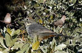 Canyon Towhee From The Crossley ID Guide Eastern Birds.jpg