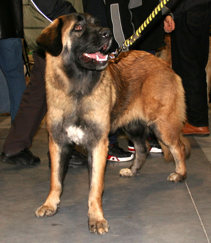 Cane della serra da estrela wikipedia for Planimetrie della serra