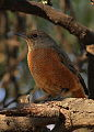 Cape Rock Thrush - female, Monticola rupestris, at Suikerbosrand Nature Reserve, Gauteng, South Africa (14812350591).jpg