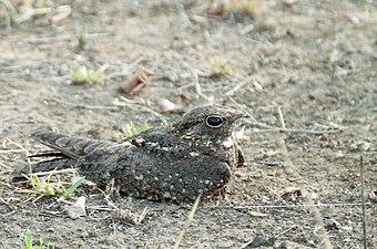 Caprimulgus affinis.jpg