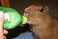 Capybara baby bottle.jpg