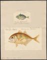 Caranx hippos - 1700-1880 - Print - Iconographia Zoologica - Special Collections University of Amsterdam - UBA01 IZ13500389.tif