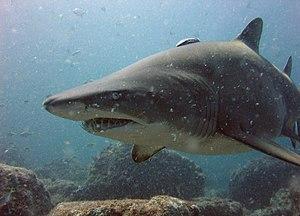 Carcharias - Sand tiger shark, (Carcharias taurus)