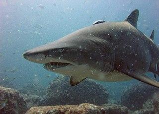 <i>Carcharias</i> Genus of sharks