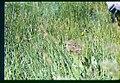 Carex aboriginum plant in SW Idaho.jpg