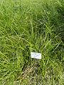 Carex disticha - Botanical Garden in Kaisaniemi, Helsinki - DSC03521.JPG