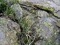 Carex fimbriata Gefranste Segge.JPG