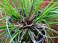 Carex meyenii (5187370701).jpg