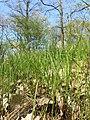 Carex praecox sl38.jpg