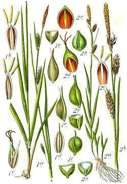 Carex spp Sturm56.jpg