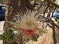 Careya Arborea012.jpg