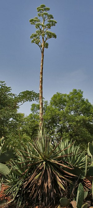 Agave angustifolia - Image: Caribbean Agave (Agave angustifolia) with inflorescence at Secunderabad, AP W IMG 6676