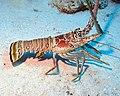 Caribbean Spiny Lobster 1 - Blackbird Caye - Belize 2016 (24239777714).jpg
