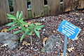 Carpenteria californica - Regional Parks Botanic Garden, Berkeley, CA - DSC04300.JPG