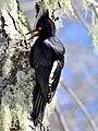 Carpintero Negro hembra, Bío-Bío Chile.jpg