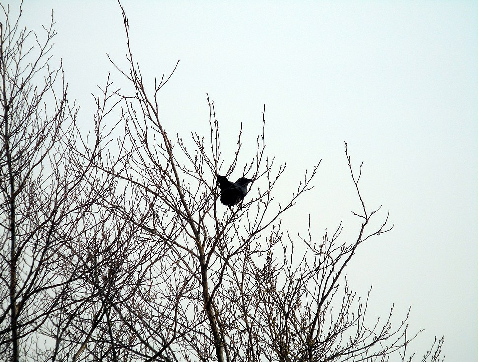 Carrion Crow on branch facing Severn Estuary at Newport Wetlands RSPB Reserve