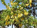 Cassia fistula flowers by Dr. Raju Kasambe DSCN4427 02.jpg