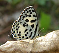 Castalius rosimon - Common Pierrot 01.jpg