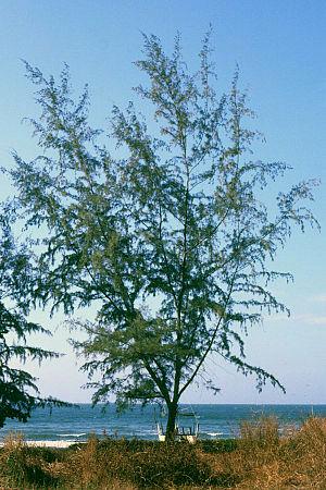 Casuarina equisetifolia 1