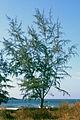 Casuarina equisetifolia 1.jpg