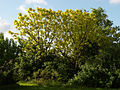 Catalpa bignonioides Aurea A.jpg