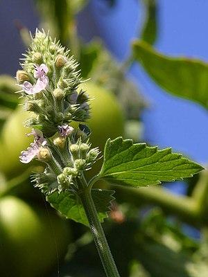 Catnip blossoms (Nepeta cataria)