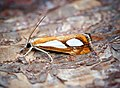 Catoptria pinella (43754160015).jpg