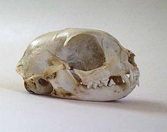Un crâne de chat