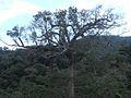 Ceiba en Tenosique Tabasco.jpg