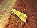 Celypha striana (Tortricidae) - (imago), Arnhem, the Netherlands.jpg