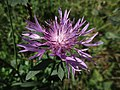 Centaurea jacea (Asteraceae) - (flowering), Elst (Gld), the Netherlands.jpg