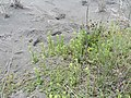 Centaurium erythraea Rafn. (AM AK335328-2).jpg
