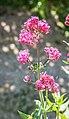 Centranthus ruber in Aveyron (1).jpg