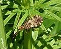 Centrocoris spiniger (31404116984).jpg